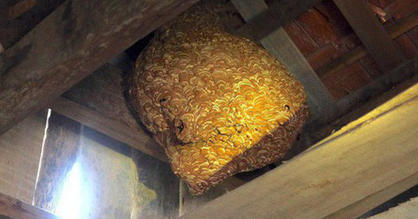 tò vò làm tổ trong nhà tốt hay xấu